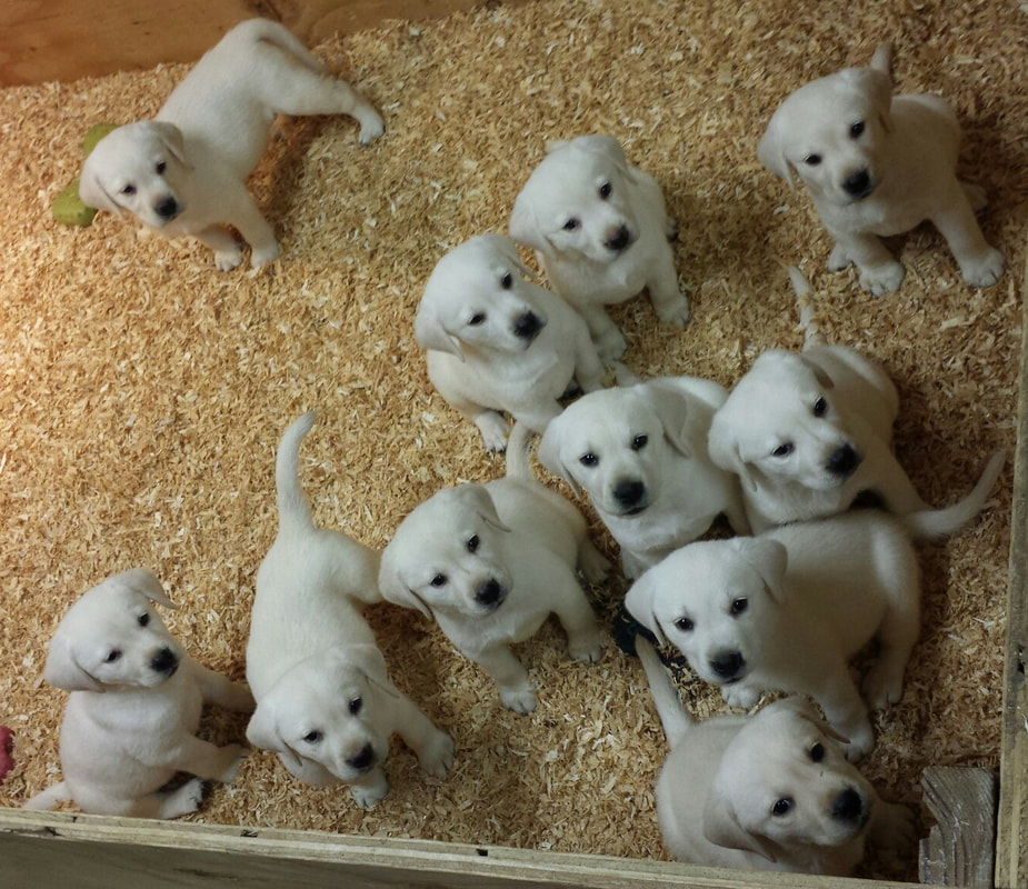 Omgbestwhitelabscom 909 649 2663 White Labrador Puppies For Sale