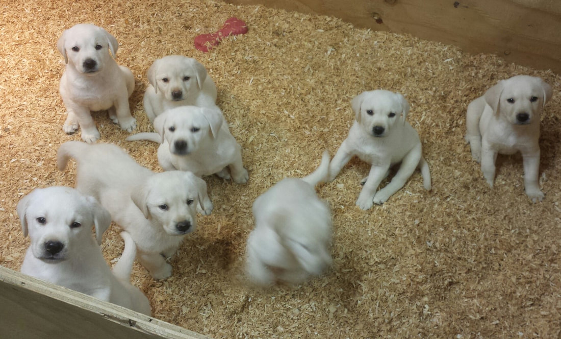 White Labrador Puppies For Sale in Highland, CA